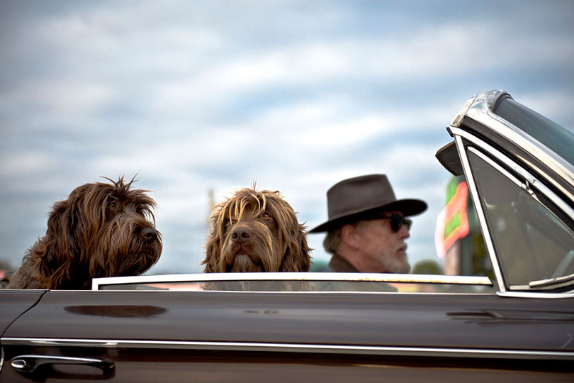 Man driving a convertible with two dogs riding along
